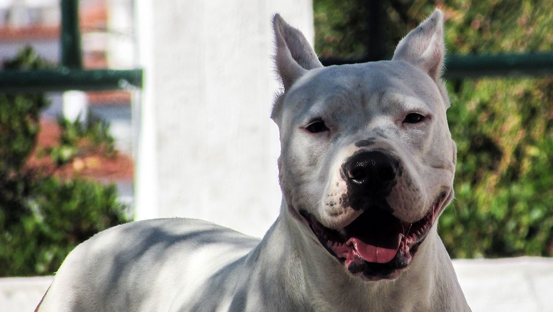 dogo argentino carattere